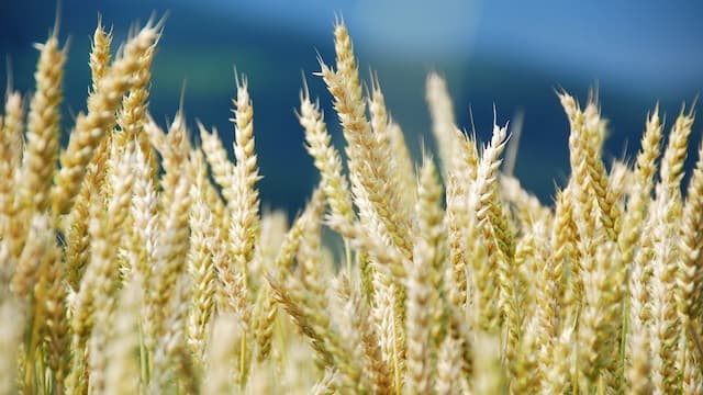 the parable of wheat and tares