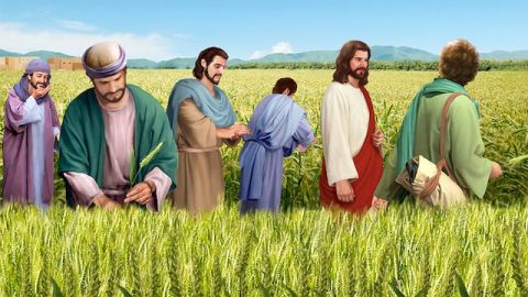 Why Did the Lord Jesus Allow His Disciples to Pluck Grain on the Sabbath?