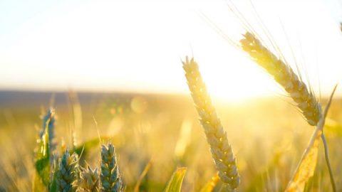 Sunlight shines on golden wheat field
