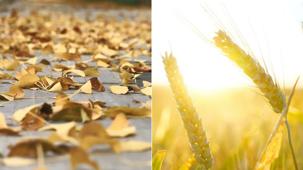 fall leaves and mature wheat
