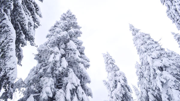 pine trees standing in the snow